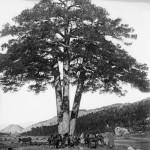 El Pi de les Tres Branques, ca. 1905. Autor: Cèsar August Torras