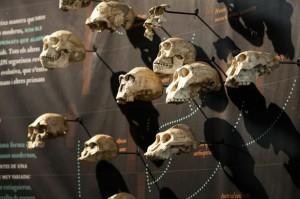 Fotografia feta pel fotògraf José Luis Biel del panell de l'evolució dels homíds