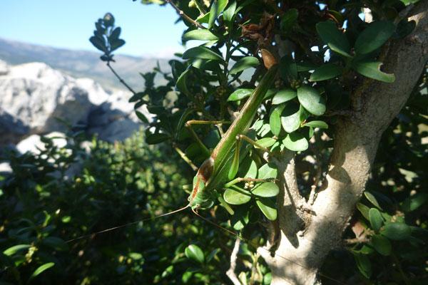 Tetigonia viridissima Prados © Eloïsa Matheu